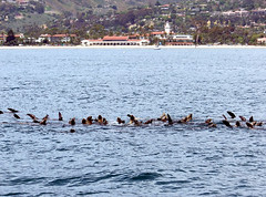 Raft of Sea Lions (bulldog008) Tags: seal sealion cute sea nature animal ocean wild wildlife fur mammal aquatic marine water brown adorable pinniped beautiful outdoor bay calm still basking sun warming raft herd harem pod santabarbara california floating