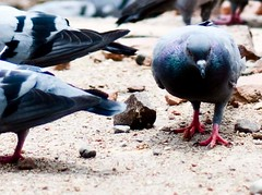 I am ready with my troops! (Utsav V) Tags: new travel bird war peace place metro pigeon delhi attack battle aggressive rajiv connaught chowk