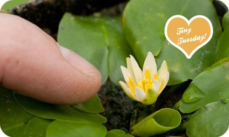 The-smallest-waterlily-in-005 copy