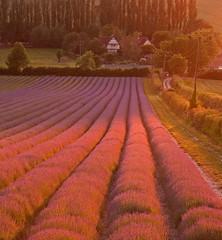 Castle Farm (Stuart Gennery Photography) Tags: sunset sunlight kent tripod lavender rows eynsford canon450d castlefarm