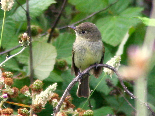 Pacific-slope Flycatcher 2-20100626