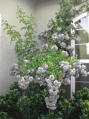 Color swap (Laila Neihoum) Tags: roses home me window canon may 2010 colorswap myfrontyard clovisca
