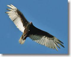 A Most Unusual Welcoming Committee (Vidterry) Tags: nikon raptor vulture cedarlake turkeyvulture turkeyvultureinflight flickrsilver flickrgold flickrbronze 95681 vultureinflight yourarthastouchedtheworld universalelite andromeda50 d300dsc
