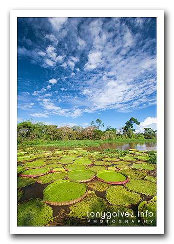 vitória-regia, Amazon, Brazil