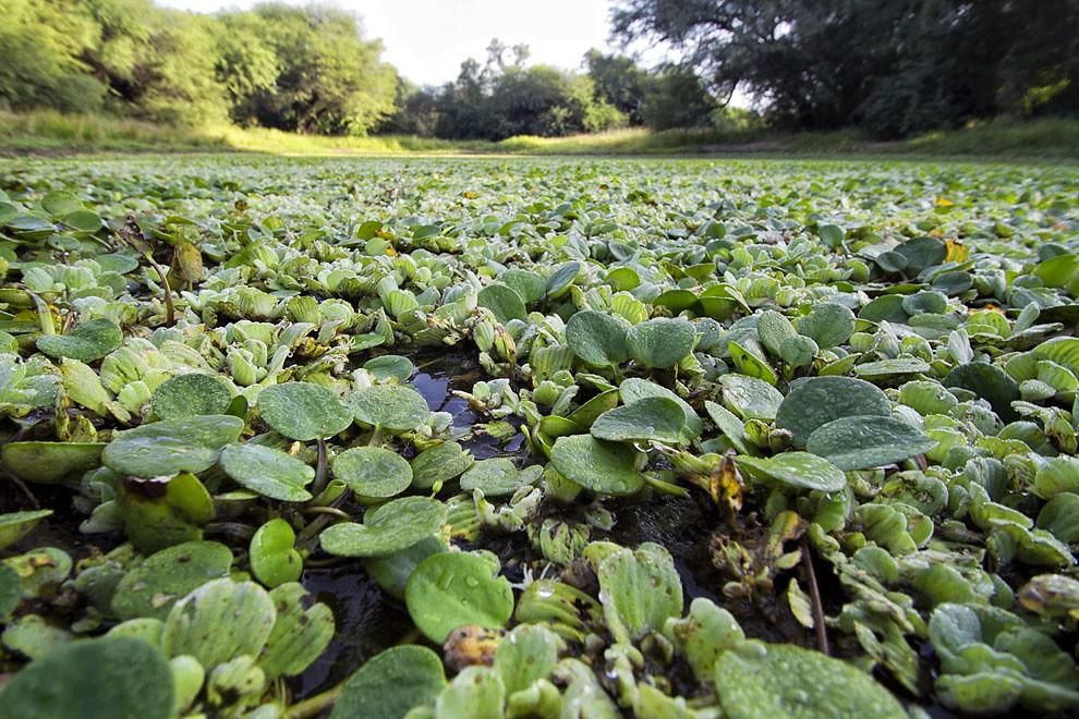 Un tajamar en donde crecen distintas plantas acuáticas en el Fortín Boquerón. (Tetsu Espósito - Fortín Boquerón, Chaco, Paraguay)