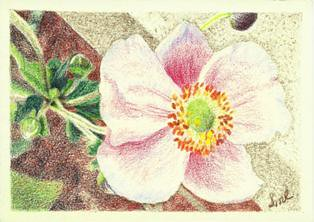 Japanese Anemone, colored pencil