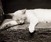 Sogni (l'UomoLunatico) Tags: cat chat sleepingcat gatto viterbo lazio calcata latium gattochedorme