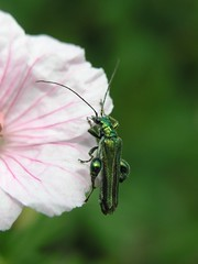 Thick Legged Flower Beetle (Oedemera nobilis) Male (Pipsissiwa) Tags: uk flower macro garden insect wildlife beetle thick legged invertebrate arthropod coleoptera nobilis minibeast oedemera