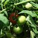 Tomatoes - Eva Purple Ball