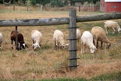 Grazing dry pasture