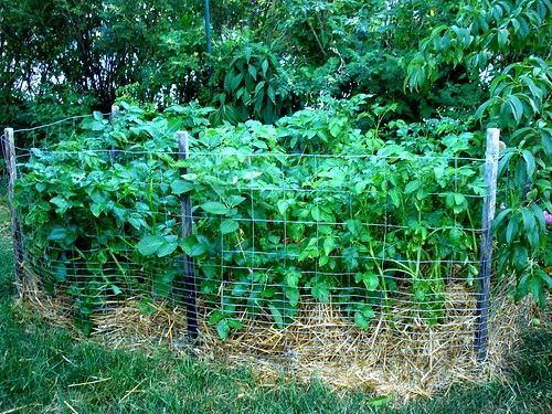 heirloom potato patch