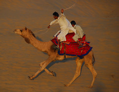 sheer exuberance (Thar Desert) (Al Varty) Tags: travel sunset india camel jaisalmer thardesert lpdesert lpdeserts