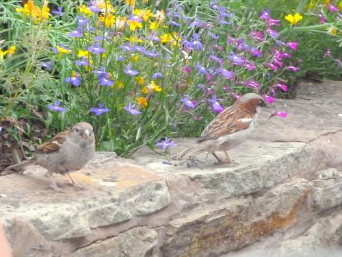 Pant Yr Ochain Sparrows