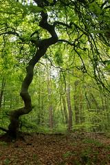 Süntelbuche im Wald von Verzy