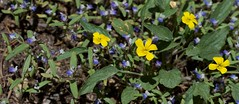 IMG_9498 (peter_r) Tags: blue white yellow sticky violet wildflower viola violaceae trichome violanuttallii nuttallsviolet scrophularaceae collinsiarattanii stickyblueeyedmary