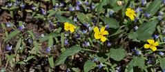 IMG_9498 (peter_r) Tags: blue white yellow sticky violet wildflower viola violaceae trichome violanuttallii nuttallsviolet scrophularaceae collinsiarattanii stickyblueeyedmary