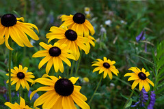 A Window To Summer (MarieFrance Boisvert) Tags: morning flowers summer flower yellow fields wildflowers blackeyedsusan rh rudbeckiahirta abigfave rudbeckiehrisse