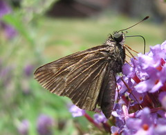 Love That Butterfly Bush (jrix) Tags: garden butterflies butterflybush buddleiadavidii broadwingedskipper poanesviator jul10 grassskippershesperiinae