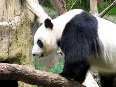 Su Lin - 6-26-10 3 (apstyle21) Tags: panda sandiegozoo baiyun pandas sulin yunzi