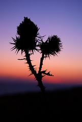 Tramonto di spine (_viandante_) Tags: tramonto mare spine fiore vieste controluce silhoulette tufara