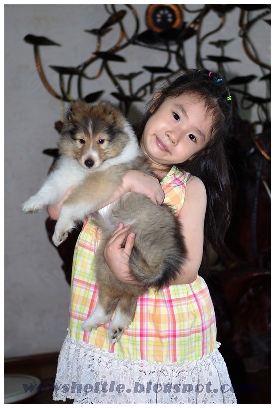 pretty girl with nearly 8wks old sheltie puppy