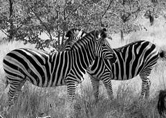 South Africa 2010-534 (SomewhereOutside) Tags: africa family game birds southafrica wildlife hunting zebra baboon krugernationalpark limpopo knp somewhereoutside douglasmccartney