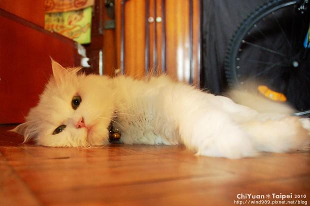 Cat躺著過夏天01.JPG