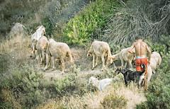 Un petit berger et ses moutons (gostoya) Tags: chien jaune canon eos vert falaise moutons algérie petit berger herbes tipaza 400d gouraya gostokom