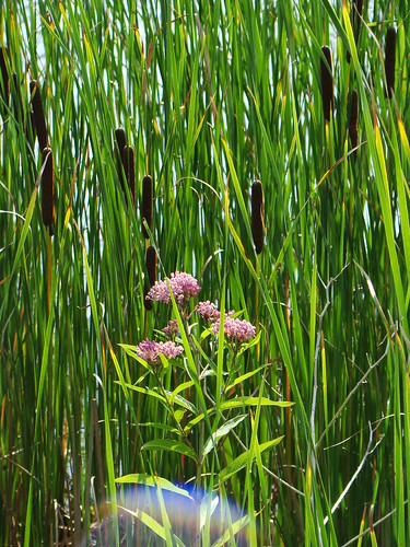 Cattails and swamp milkweed