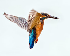 Hover (Andrew Haynes Wildlife Images ( away for a while )) Tags: bird nature wildlife kingfisher coventry warwickshire brandonmarsh canon7d ajh2008