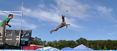 329 Bailey in the air (The_Little_GSP) Tags: dog pointer shorthair germanshorthair gsp germanshorthairedpointer germanshorthairpointer thelittlegsp littlegspphotography baileythelittlegsplittlegspphotographygermanshorthairedpointergermanshorthairdogpuppyjumping dockdogsdockdogallentownnewjerseyfreedomfestbigairpoolswimjumpdelmarvalittlegspphotographygermanshorthairedpointergsp