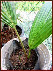 Newly propagated Cyrtostachys renda (Lipstick Palm) growing fine with one new leaf and a tiny shoot, shot 29 April 2010