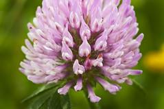 O H    S W E E T    C L O V E R (CUCKOOPHOTHOG) Tags: pink flower macro green closeup photography nikon sweet tripod mm 105 nikkor clover rui d300 ferreira induro