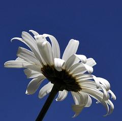 love me, love me not... (lachaisetriste) Tags: nature fleur nikon jardin ciel vienne creuse d700 pinnaclephotography
