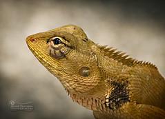 """Profiling"" a Lizard! ... (SonOfJordan) Tags: portrait eye closeup canon thailand eos head lizard scales phuket xsi samai 450d sonofjordan wwwshadisamawicom"