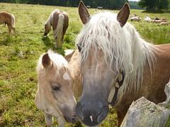 Fohlen mit Mutter (grizzly2grizzly) Tags: horse pferd haflinger fohlen