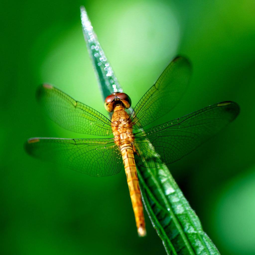 Golden dragonfly 金色蜻蜓 ...