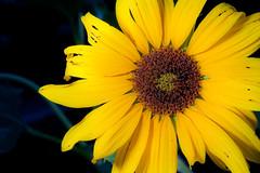 Sunflower (852 Pixel) Tags: world summer usa sun flower america scott walking utah photo ut walk wide july worldwide sunflower photowalk 2010 kelby summa photowalking widutah