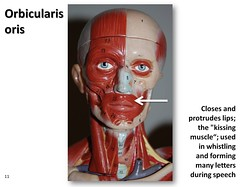 Orbicularis oris - Muscles of the Upper Extremity Visual Atlas, page 11 (Rob Swatski) Tags: york podcast college face mouth skeleton photo movement model education lab kissing exercise body pennsylvania muscle muscular review creative commons lips system tendon medical upper organ study human massage anatomy laboratory learning atlas bone guide practice therapy closing visual speech biology harrisburg facial skeletal speaking wiki whistling clinical physiology connective kinesiology oris physicaltherapy hacc vocalization itunesu orbicularis musculoskeletal swatski robswatski biogeekiwiki biol121