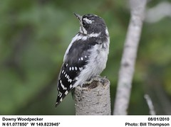 Downy Woodpecker (Bill.Thompson) Tags: birds downywoodpecker picoidespubescens ak anchorage pottermarsh
