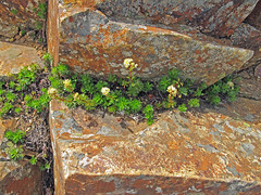 These hardy flowers adorned crevices in the rock all over Red Mountain.