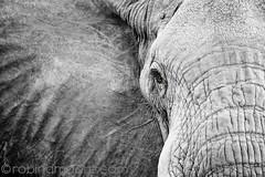 IMG_6391wtrmrk (Robin100) Tags: africa elephant game eye face closeup mammal nationalpark close kenya wildlife front safari ear loxodonta eastafrica tamimi merunationalpark photocontesttnc10