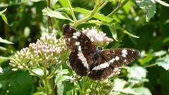 White Admiral kleiner Eisvogel (Aah-Yeah) Tags: white butterfly bayern camilla admiral kleiner schmetterling achental limenitis chiemgau eisvogel tagfalter marquartstein