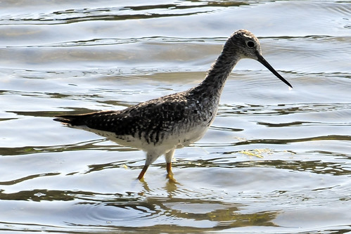 greater yellowlegs pocasset II