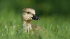 Gosling: Head in the clouds (mbaglole) Tags: park ontario nikon canadian goose 300mm waterloo gosling f4 afs mywinners nikkoor