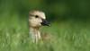 Gosling: Head in the clouds (mbaglole) Tags: park ontario nikon canadian goose 300mm waterloo gosling f4 afs mywinners nikkoor