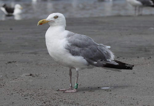 Herring Gull - A07