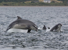 Moray firth dolphins (Ally.Kemp) Tags: point scotland highlands marine dolphin wildlife scottish dolphins mammals moray rosemarkie blackisle firth chanonry bottlenose morayfirth fortrose rossshire chanonrypoint