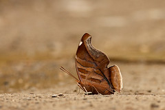 Mariposa en Suapi (wayras) Tags: hoja butterfly leaf rainforest selva bolivia mariposa insecto yungas coroico mimetismo montaneforest suapi kellkata