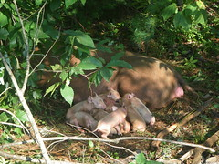 11 newborn Tamworth piglets